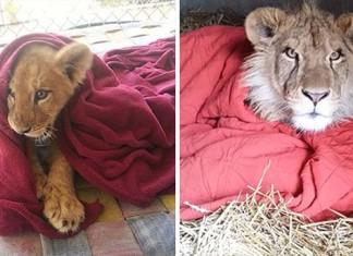 León africano no duerme sin una manta