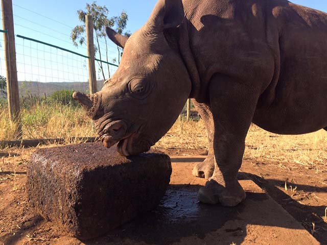 Nandi el rhino