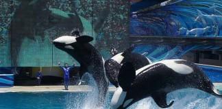 Orcas de SeaWorld