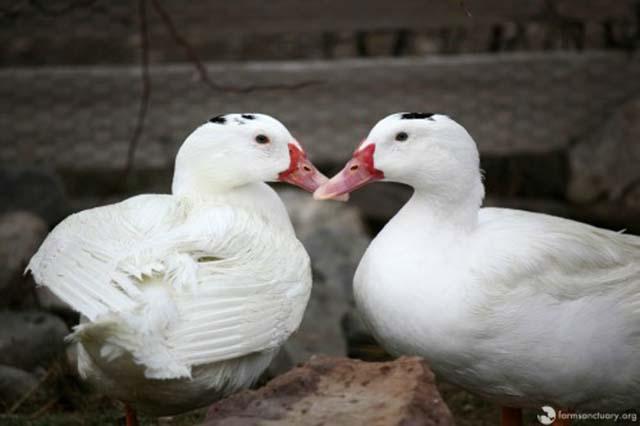 Patos rescatados de granja de foie gras