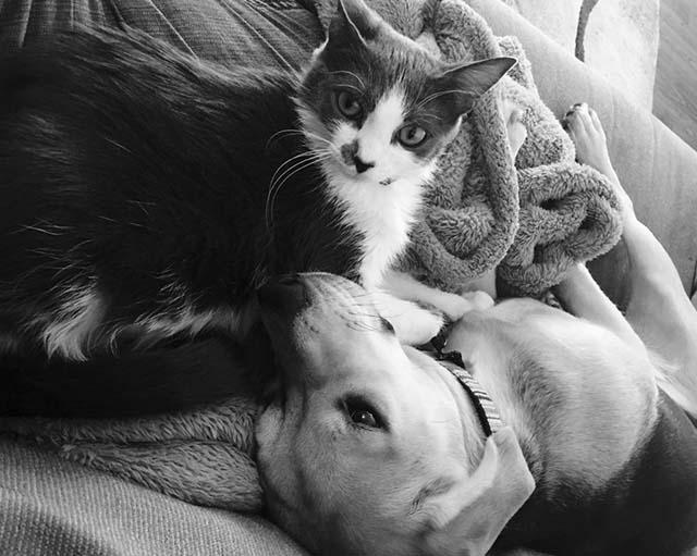 Perro Beagle y un gato amigos