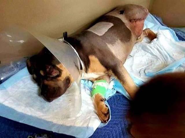 Perro atropellado se recupera