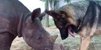 Perro enseña a jugar a un rinoceronte
