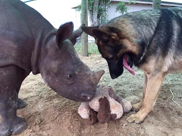 Perro y rinoceronte jugando