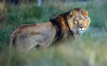 Quieren asesinar a un león