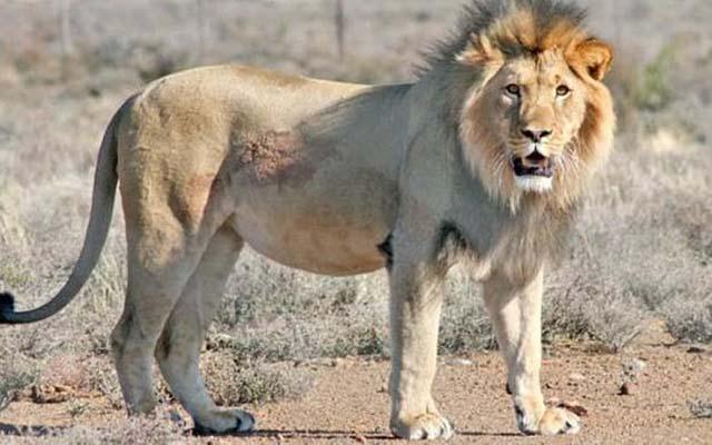 Sylvester el león