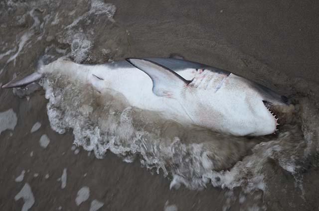 Hombre salva a un tiburón Salmón