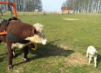 Toro rescatado tiene una silla de ruedas y un amigo