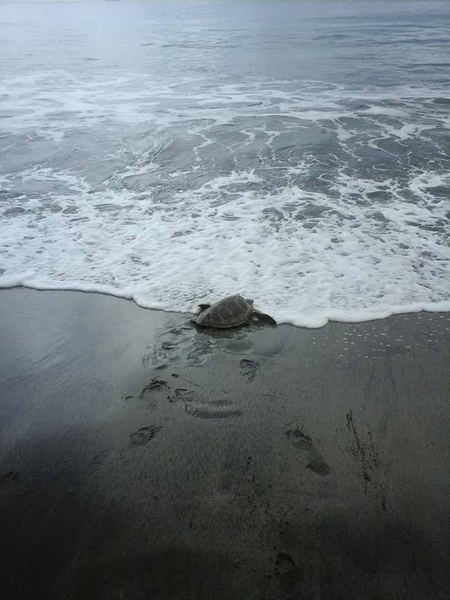 Tortuga devuelta al mar