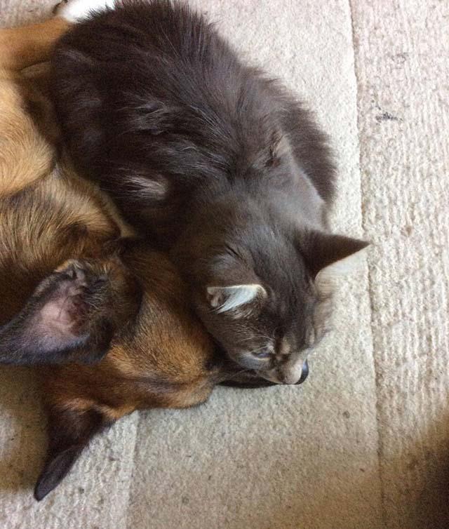 Gato consuela a perro