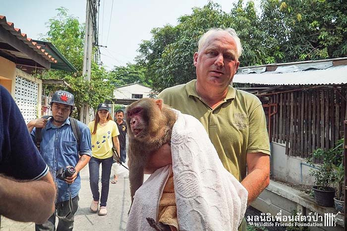 Mono Rhesus rescatado en Bangkok