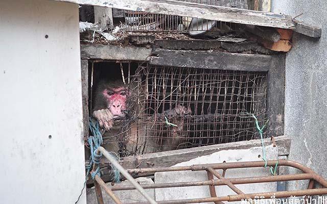 Mono atrapado entre edificios en Bangkok