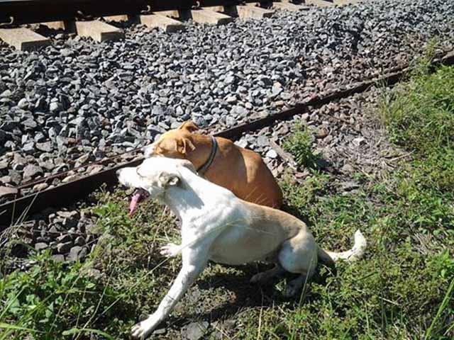 Perro cuidando a otro perro herido