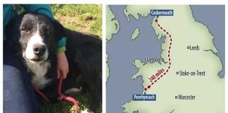 Perro encuentra su casa a 240 millas de distancia
