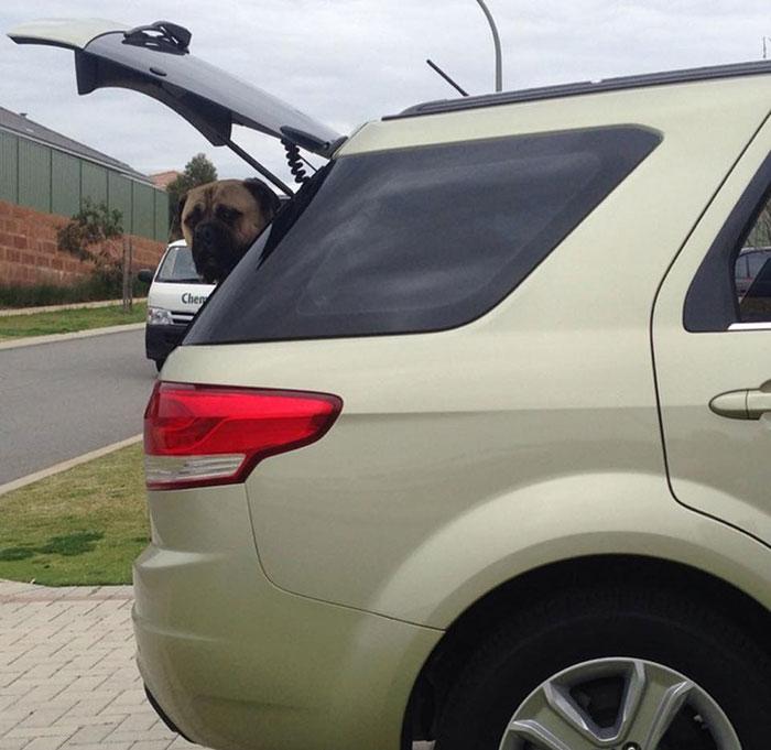 Perro espía en el auto