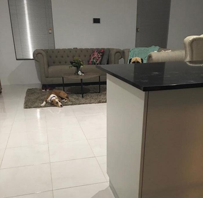 Perro espía en la sala