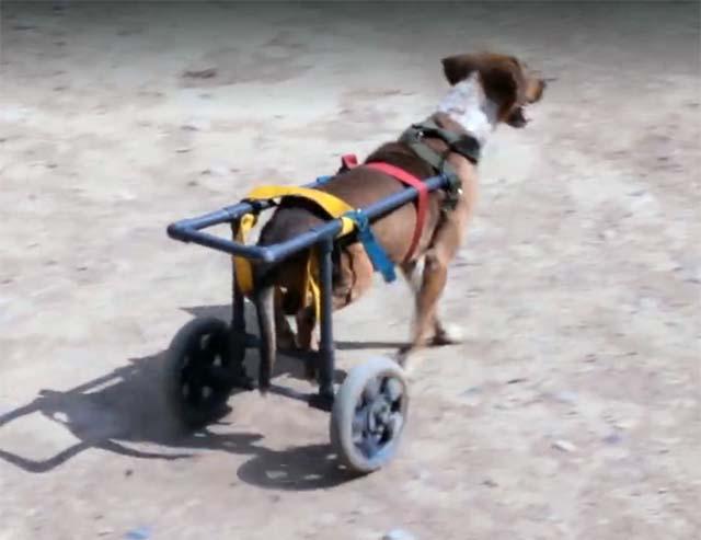 Perro parapléjico