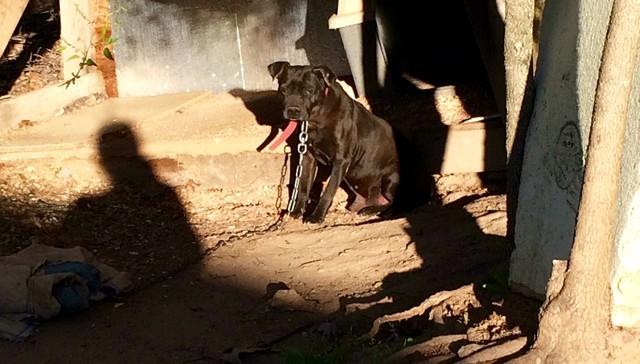 Pit bull encadenado