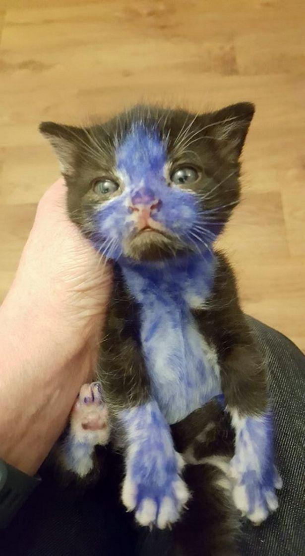 Pitufo, gato rescatado