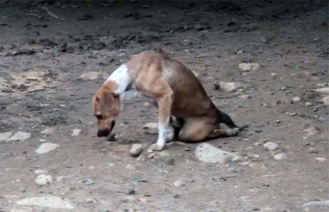 Toto, el perro parapléjico