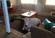 Vaca australiana se cree perro