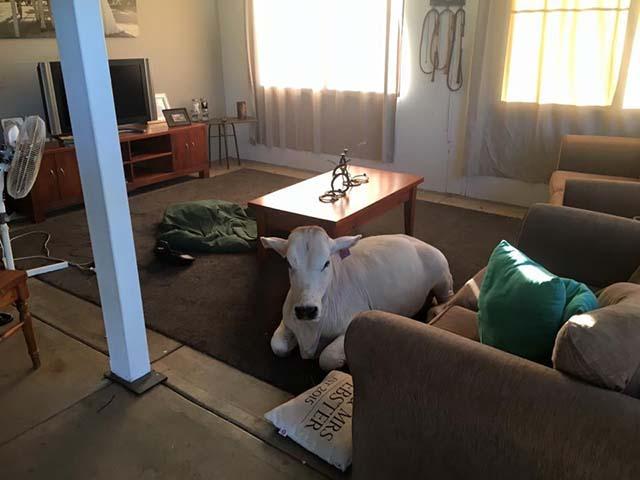 Vaca espera a su familia en casa
