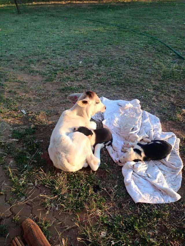Vaca y cachorros