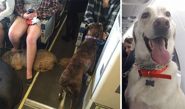 Aerolineas permiten que las mascotas viajen en la cabina
