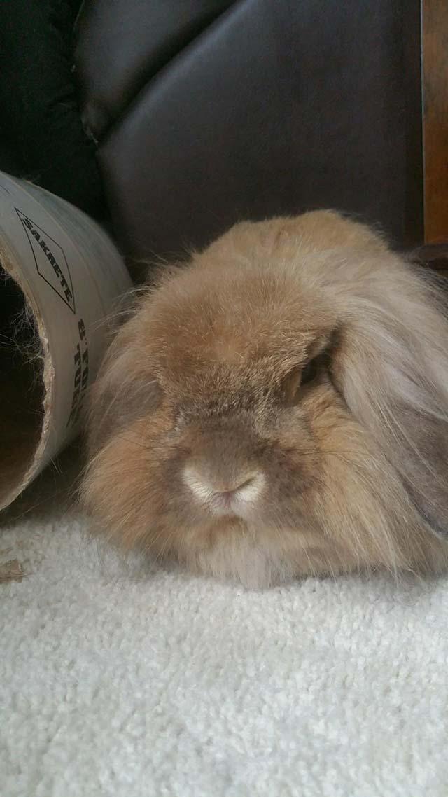 Archie, conejo deprimido