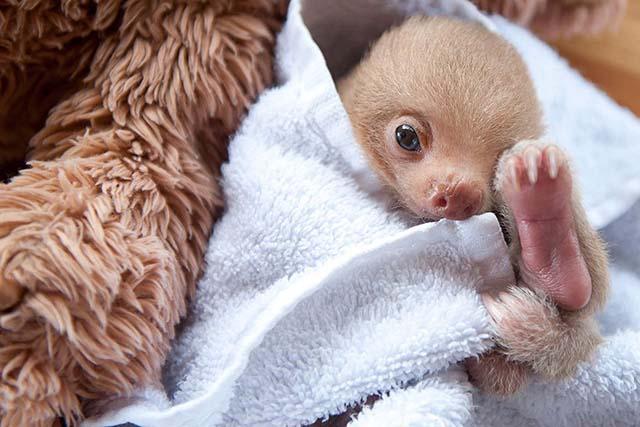 Bebé de oso perezoso