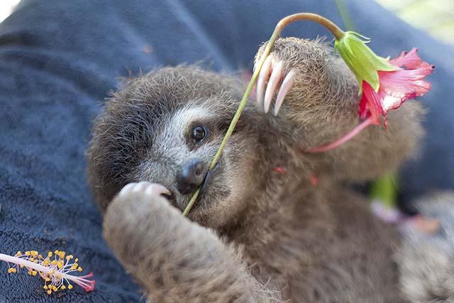 Bebé perezoso con una flor
