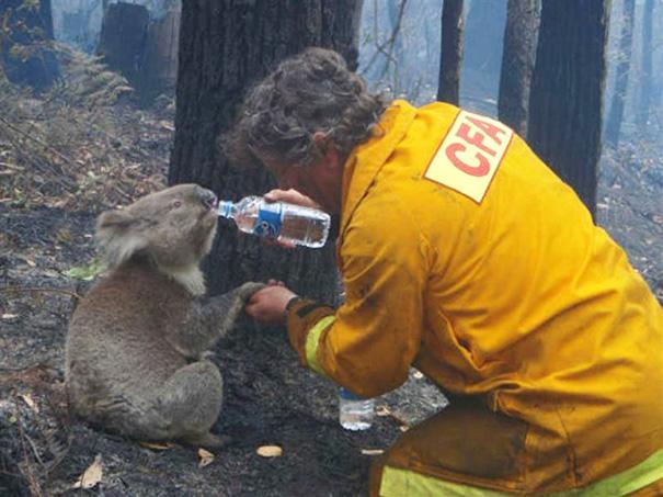 Bombero ayuda a un koala
