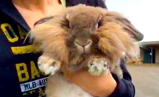 Conejo deprimido luego de ser devuelto al refugio