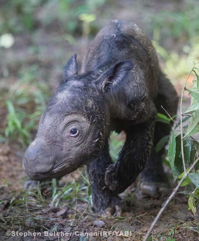 Cria de rinoceronte de Sumatra