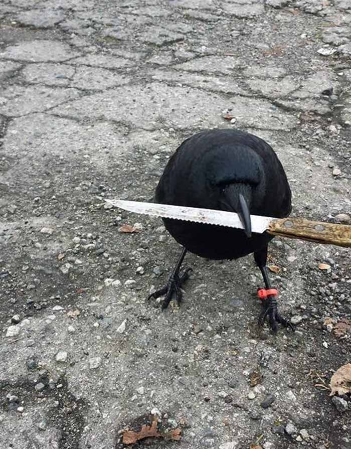 Cuervo en la escena del crimen