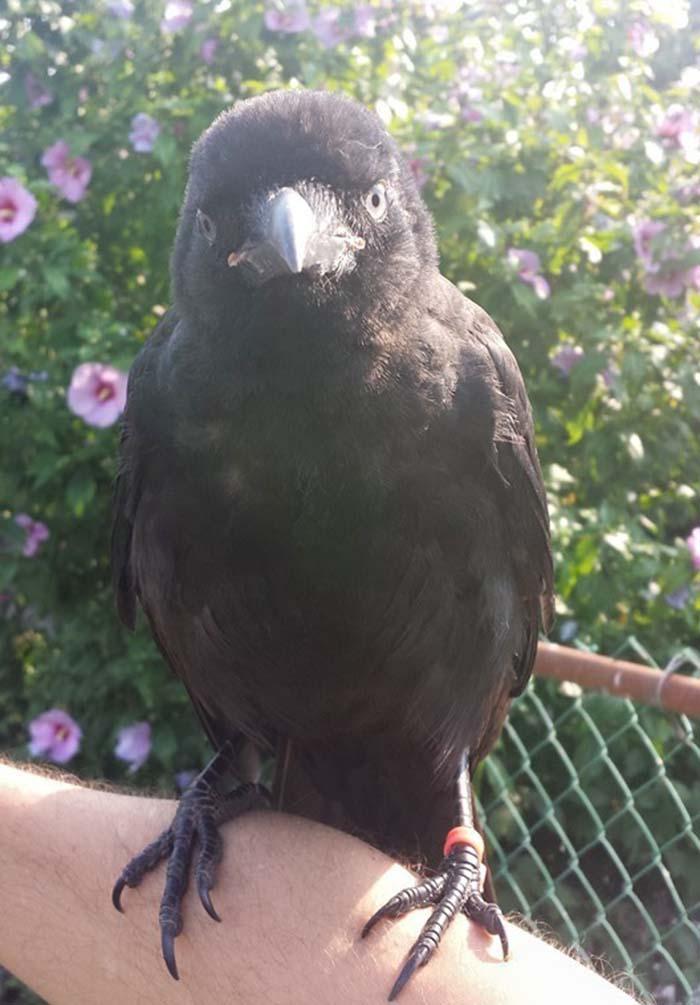 Cuervo no se separa de la persona que lo salvo