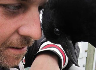 Cuervo rescatado no se separa del humano que lo salvo