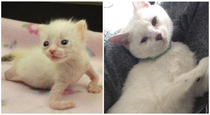 Gata que nació con patas deformes