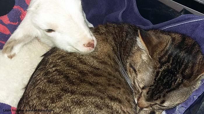 Gato cuida de otros animales enfermos como el