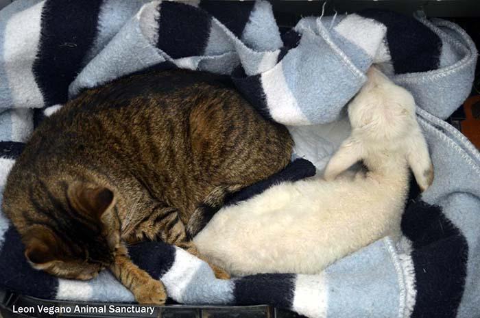 Gato cuida de otros animales