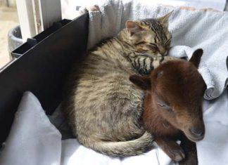 Gato enfermo ama ser el enfermero de los demás animales