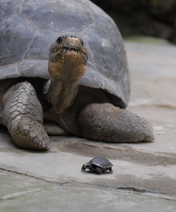 Madre tortuga galapago