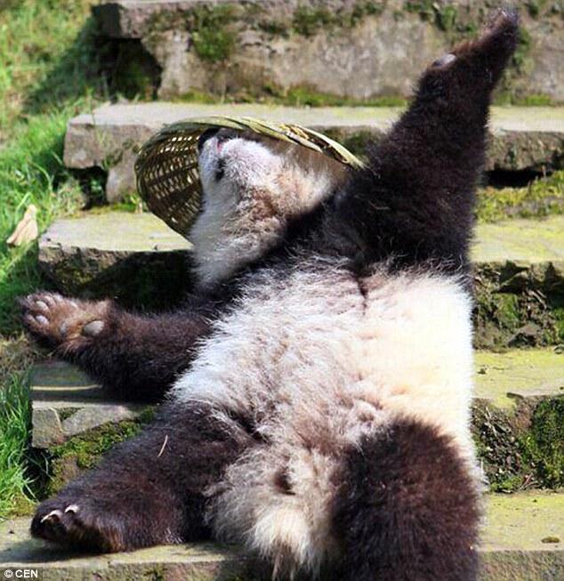 Osezno panda