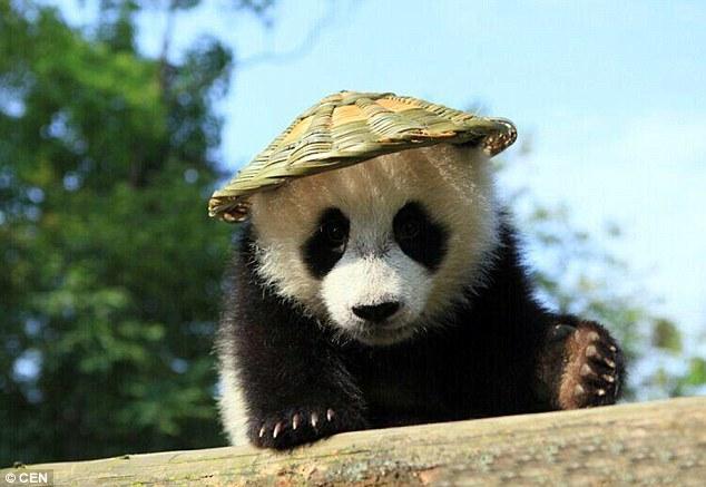 Oso panda bebe se parece a Po de Kung Fu Panda