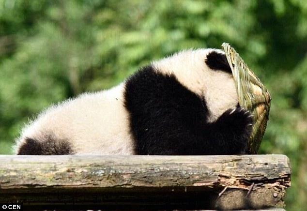 Oso panda bebe