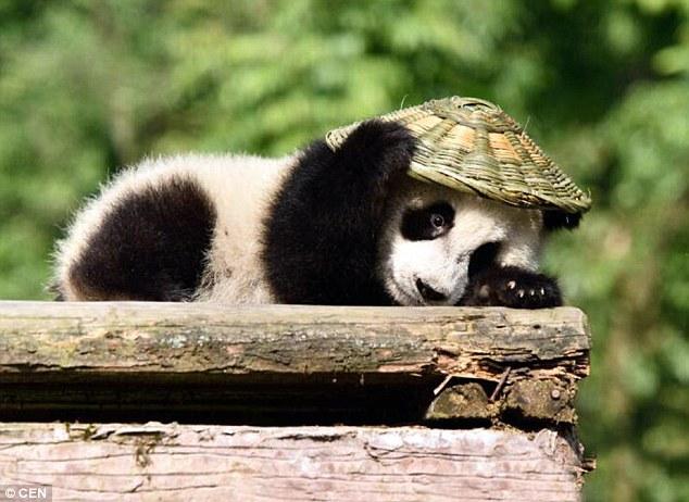 Oso panda en santuario