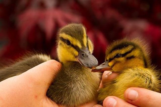Patito huerfano adopta a otro pato