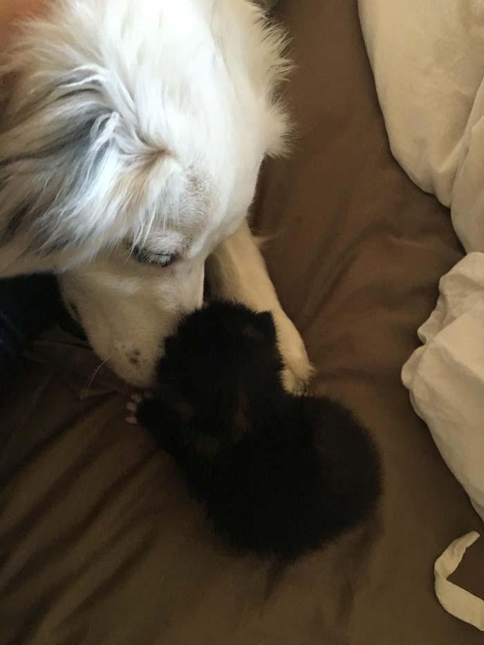 Perra cuida a un gatito