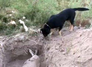 Perro ayuda a enterrar a su hermano peludo en Chile