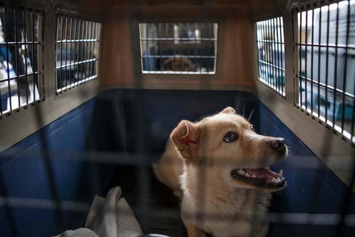 Perro rescatado de granja de carne de perro